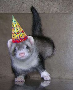 Image result for black footed ferret happy birthday gifs