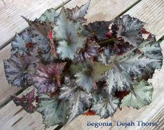Rex Begonias are wonderful house plants !