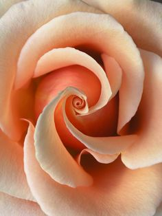 Peach Rose, so beautiful! Love Rose, My Flower, Pretty Flowers, Flower Art, Fleur Orange, Coming Up Roses, Colorful Roses, Peach Colors, Beautiful Roses