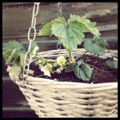 Bloemetjes in de aardbeienplant