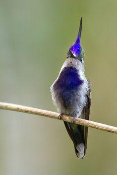Beija-flor-de-topete-azul Stephanoxis lalandi.                                     Gênero STEPHANOXIS Simon Outro nome popular: Beija-flor-de-topete MACHO - ADULTO