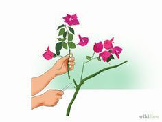 How to Propagate Bougainvillea. Raising a garden full of woody, bright-bloomed bougainvillea only requires a single plant. Simply cut from the stem of an existing plant, coat the end in rooting hormone, and stick it in a shallow container. Santa Rita Planta, Multiplication Végétative, Bougainvillea Bonsai, Vegetative Reproduction, Plant Science, Garden Care, Propagation, Cuttings, Organic Gardening