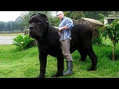 10 Biggest Dog Breeds in the World Really Big Dogs, Huge Dogs, Giant Dogs, Guard Dog Breeds, Big Dog Breeds, Biggest Dog Breeds, Worlds Biggest Dog, Gaurd Dogs, Bull Mastiff Dogs