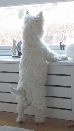 westie warrior on watch - nothing breaks their concentration, nothing! Everytime I see one of these makes me want to cry makes me think of Muffin