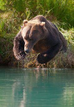 Brown bear diving for salmon, Lake Clark National Park, Alaska. Wow, amazing shot!