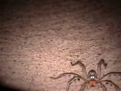 Huge Wolf Spider with Glowing Eyes Wolf Spider, Wolf Eyes, Glow, Animals, Animales, Animaux, Animal, Sparkle, Animais