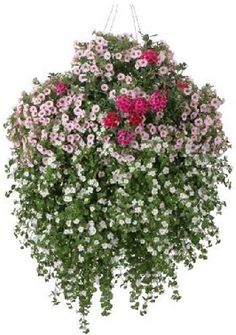 Bacopa for hanging Baskets