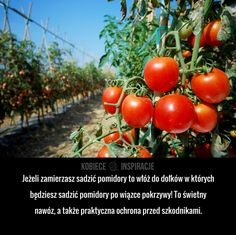 Jeżeli zamierzasz sadzić pomidory to włóż do dołków w których będziesz sadzić pomidory po wiązce pokrzywy! To świetny nawóz, a ... Herb Garden, Vegetable Garden, Garden Plants, Growing Tomatoes, Fruit Trees, Good To Know, Flower Power, Planting Flowers, Life Hacks