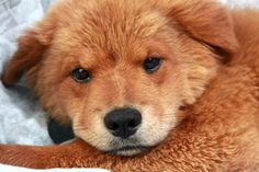 Hatchi Chowmix is an adoptable Chow Chow Dog in Cabool, MO. Hatchi Chowmix Chow mix Baby �Female �Medium Approximate birthdate: 3/15/2013 Weight:� 18 pounds Adoption fee: $195� Look who is looking for...