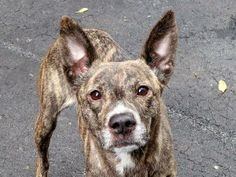 MARIE - ID#A1001171  I am an unaltered female, brown brindle and white Pit Bull Terrier mix.  The shelter staff think I am about 4 years...