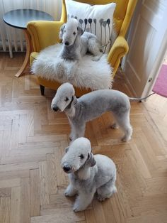 The Bedlington Terrier is a breed of small dog named after the mining town of Bedlington, Northumberland in North East England. How many bedlington terrier facts do you know? Cute Puppies, Cute Dogs, Dogs And Puppies, Small Puppies, Doggies, Origin Of Dogs, Small Dog Names, Terrier Dog Breeds, Terriers