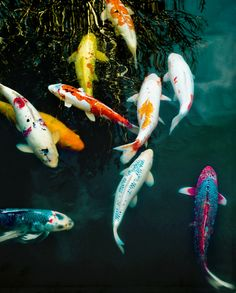 Koi-lourful Fish!!
