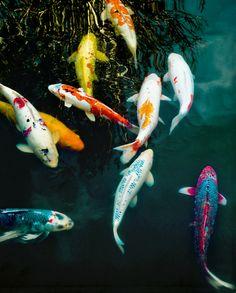 Koi pond via sparkles of life