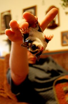 sugar glider (love those eyes!)
