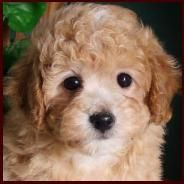 Bich-poo, Bichpoo, Poochon, Oodle, Poodle Hybrid, Poodle Mix, Doodle, Dog, Puppy pinned by myoodle.com
