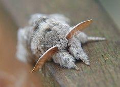 venezuelan poodle moth - Google Search