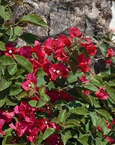"""Bougainvillea """"San Diego Red"""" - Bougainvillea For added privacy by bathroom window"""