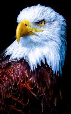 How Eagle hunt its prey? - How Eagle hunt its prey? Eagle Wallpaper, Tier Wallpaper, Animal Wallpaper, Wallpaper Pictures, Mobile Wallpaper, Bokeh Wallpaper, Iphone Wallpaper, Pastel Wallpaper, Galaxy Wallpaper