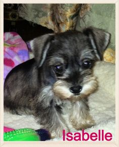Isabelle, a precious 8 week old toy Schnauzer.