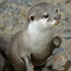 Launceston, Cornwall Visitor Attraction - The Tamar Otter & Wildlife Centre @ Chycor Cornwall