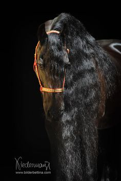 Friesen horse with outstanding mane.
