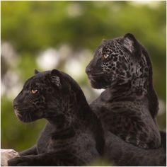 black leopards aka black panthers