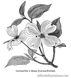 flowering-dogwood-1600.jpg (1442×1600)