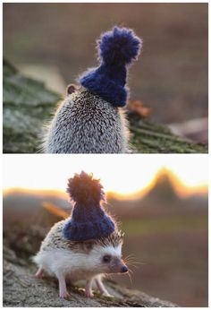 The hedgehog which wear a knit cap