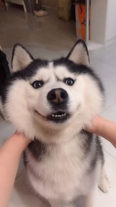 Dog Discover Play with huskyA small face becomes a big face Supplementary note: No one really hurt this cute husky it was just a joke. This husky is very healthy and its owner treats it well. We are also dog lovers please dont worry. Animal Jokes, Funny Animal Memes, Funny Animal Videos, Cute Funny Animals, Funny Animal Pictures, Cute Baby Animals, Funny Dogs, Cute Pets, Funny Dog Faces