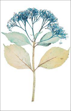 Nick Knight, Flora Edition, 1997 - 2010  Hydrangea Macrophylla Hand-coated pigment print