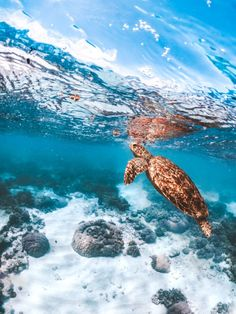 Getting Involved with Sea Turtle Conservation - I started my journey to help save the sea turtles off the small island of Gili Trawangan in Indones - Save The Sea Turtles, Baby Sea Turtles, Cute Turtles, Sea Turtle Wallpaper, Ocean Wallpaper, Animal Wallpaper, Turtle Background, Sea Turtle Pictures, Pictures Of Water