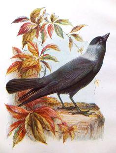 Jackdaw - Antique Bird Print - Vintage Bird Picture - Print of Bird by E. Turek, Home Decor, ephemera on Etsy, £8.00