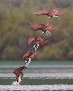Photographer's Photos Of Ospreys In Hunting Mode Show How Calculated Everything In Nature Is   Bored Panda Wild Photography, Animal Photography, Beautiful Birds, Animals Beautiful, Beautiful Photos Of Nature, Animals And Pets, Cute Animals, Bird Pictures, Birds Of Prey