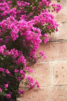 How to Care for a Bougainvillea Plant (1) Full sunlight (2) Water enough to keep moist but not too wet (3) Fertilize when planting and again as needed - don't overdo it with nitrogen fertilizers (4) Prune after it stops blooming