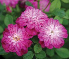 Elfinglo  micro miniature rose      Heirloom Roses