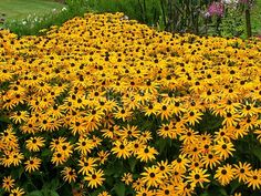 Shop for Black Eyed Susan Seeds by the Packet or in Bulk.Com offers the Finest and Freshest Black Eyed Susan Flower Seeds Anywhere. Diy Garden, Dream Garden, Lawn And Garden, Garden Plants, Flowers Perennials, Planting Flowers, Yellow Perennials, Flower Gardening, Flowers Garden