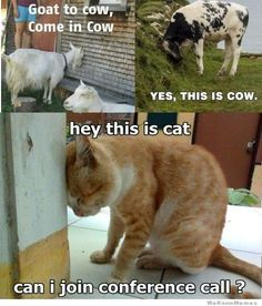 yes this is cat yes this is cow- LOL*  #babygoatfarm