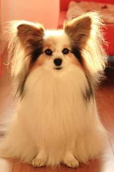 Very beautiful papillon