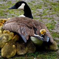Canada Goose and her goslings which are seeking the protection of momma during a rain.