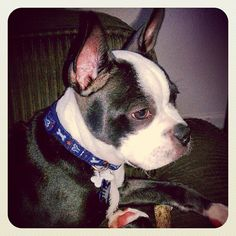 """Katharine says, """"This is Peks, our 3 month old male Boston Terrier puppy. Wondering about his name? Peks is the nickname of my husband\'s favorite NHL goalie Pekka Rinne of the Nashville Predators. Thanks for offering such a great product! We will be lifelong customers for sure if Peks has his way!"""" #bostonterrier #boston #terrier #nhl #pekkarinne #nashvillepredators #bestbullysticks #bullysticks #puppy #love #ilovemydog #dog #cute #beautiful #sweet #smile #happy"""