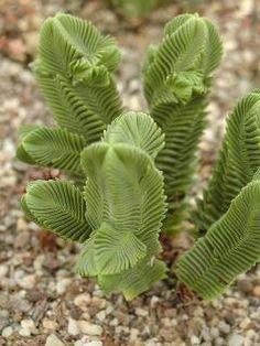 Crassula Pyramidalis, endémica de las regiones de Little Karoo y Namaqualand de Sudáfrica, ¡linda!