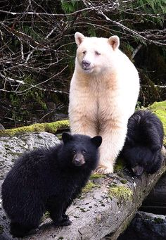 Yes, there is another white bear. It's not a polar bear but in fact it is a rare subspecies of the Black Bear. The beautiful Spirit Bear aka Ghost Bear was named after Frank Kermode the former director of the Royal B. Spirit Bear, My Spirit Animal, Baby Animals, Cute Animals, Wild Animals, Bear Paw Tattoos, American Black Bear, Bear Pictures, Animal Pictures