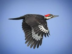 Woodpeckers, Birds In Flight, Beautiful Creatures, Feathers, Friends, Animals, Amigos, Animales, Flying Birds