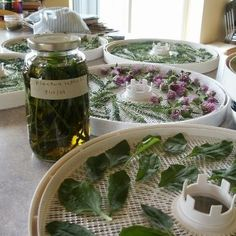 plantain infusions and projects with weeds #MyHerbalSpring