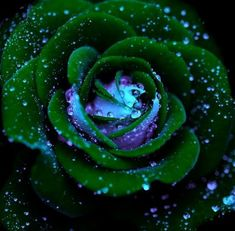 pictures of green roses | sapherequeen a GREEN rose for you :)