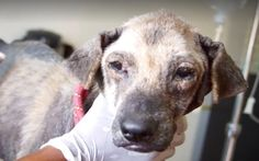 Boogaloo was rescued by SOI Dog Foundation at nine years old! This sweet boy lived most of his life on the streets, fending for himself. When rescuers found him, he was in horrendous condition – in…