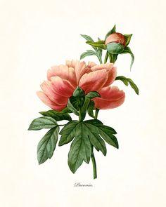 Redoute Series No.1 Peony - Botanical Art Print