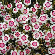 My favorite garden flower!  Dianthus, Arctic Fire - Garden Seeds - Perennial Flower Seeds, gardening, landscaping