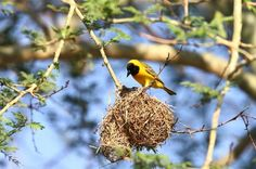A male Lesser Masked Weaver ensures his nest is securely attached to a hanging branch. The masked weaver complex of yellow weavers with black faces consists of numerous species. Photo taken by Adam Riley in South Africa. 10,000 Birds | Weavers