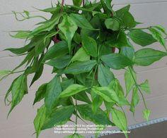 Fish Tail Hoya (Hoya polyneura) in the Hoyas Database (All Things Plants)